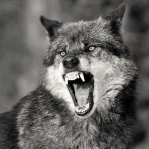 wolf002